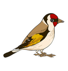Drawing goldfinch vector