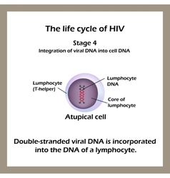 The life cycle of hiv stage 4 - the double vector