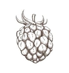 blackberry icon Fruit design graphic vector image