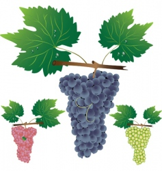 three cluster of grapes vector image