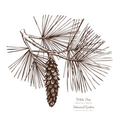 white pine botanical vector image