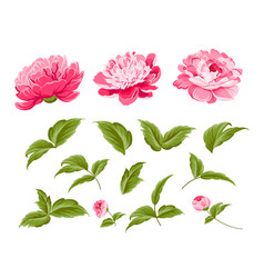set of peony flowers elements vector image vector image