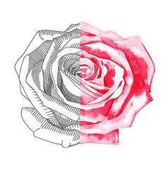 hand draw sketch ink and watercolor rose vector image vector image