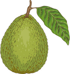 ripe guava with leaf vector image