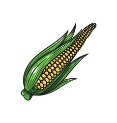Corn on white background vector
