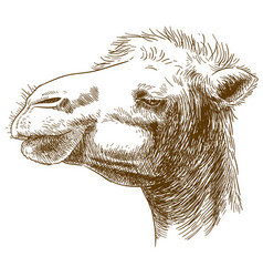 engraving of camel head vector image