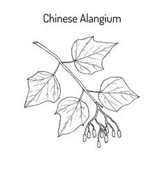 alangium chinense medicinal plant vector image