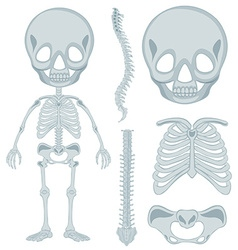Human skeleton for young kid vector