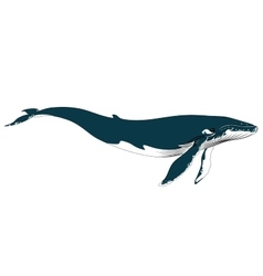 Realistic big blue whale on a white background vector image