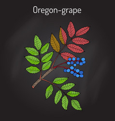 Oregon grape mahonia aquifolium vector