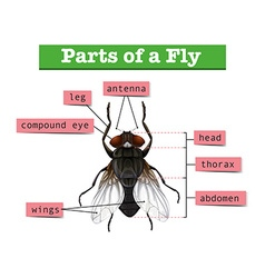 Diagram showing parts of fly vector