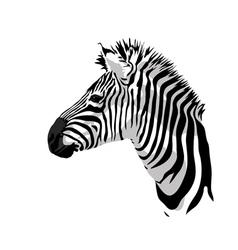 Zebras portrait vector image