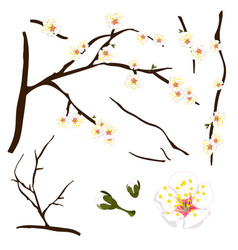 Prunus mume - white chinese plum japanese apricot vector