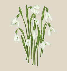 bouquet of snowdrops vector image