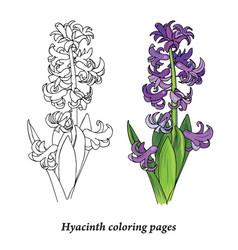 hyacinth coloring pages vector image