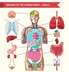 Chart showing organs of human body vector image vector image