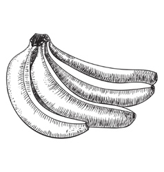 Bananas of sketchesdetailed citrus drawing vector
