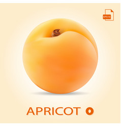 single fresh apricot isolated on a background vector image vector image