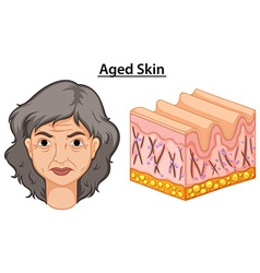 Diagram showing woman with aged skin vector