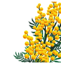 Mimosa flowers vector image vector image