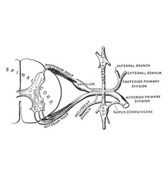 Spinal nerve vintage vector