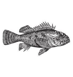California scorpionfish vintage vector