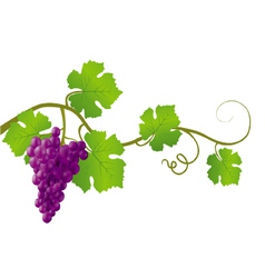 Red grape vine vector