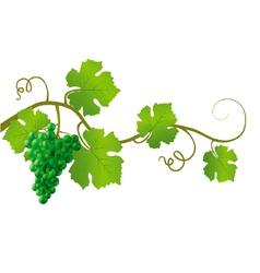 green grape vine vector image vector image