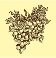 bunches of grapes grow hand drawn viticulture vector image