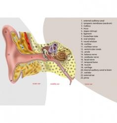 ear anatomy vector image vector image