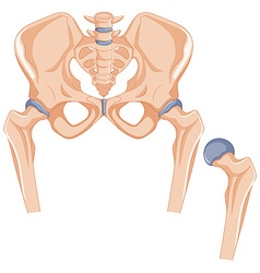 Hip bones in human body vector