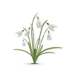 Snowdrop flowers on white background vector