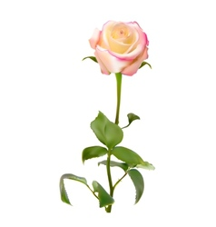 Realistic rose high quality vector