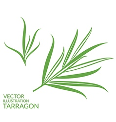 Tarragon isolated plants on white background vector