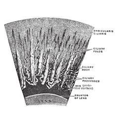 Magnified corona ciliaris vintage vector