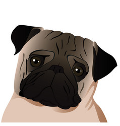 pug close up vector image vector image