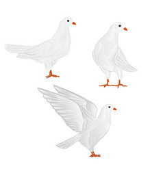 Carriers white pigeons domestic breeds vector