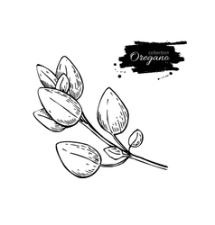 Oregano drawing isolated oregano plant vector