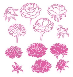 flower peony vector image vector image