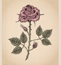 rose flower on parchment vector image