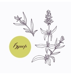 Hand drawn hyssop branch with leaves isolated on vector
