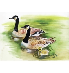 Three ducks with black necks watercolor painting vector