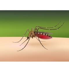 Mosquito sucking blood vector image