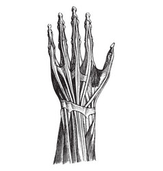 tendons of the hand vintage vector image