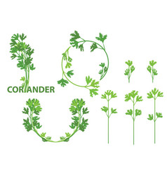 Coriander herb vector
