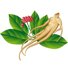 Ginseng vector image vector image