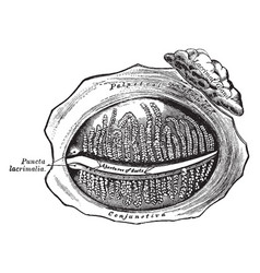 Inner surface of the eyelid vintage vector