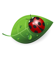 ladybird on a green leaf vector image