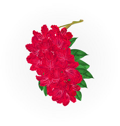 Branch red flowers rhododendron mountain shrub vector