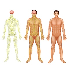 Nervous system of a man vector